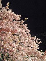 夜桜そのに