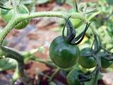 トマトは50日後がお勧めです。