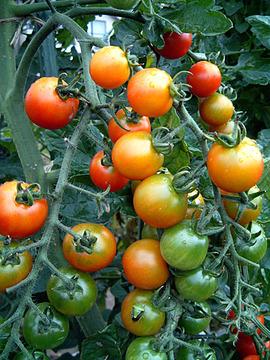 トマトうまかったなあ