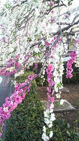 桜さいたら紅白だった?