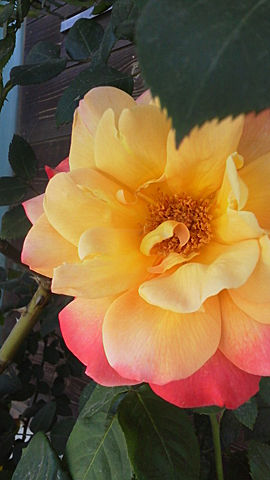 バラの咲き誇る