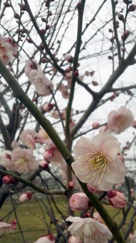 梅は咲けども
