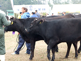 立派な牛さんがいっぱいです