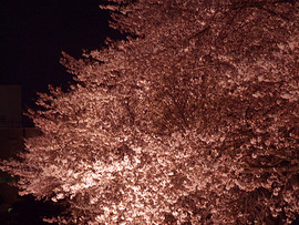 何故夜桜か?