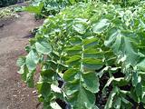 大根を乾燥させないように守る葉
