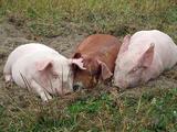 3匹の豚さん