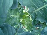 ブロッコリーの芯を奥にして守る葉