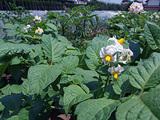 ジャガイモの花はゆれる