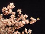夜桜そのいち