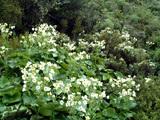 いっぱい咲いてるマウントクックリリー
