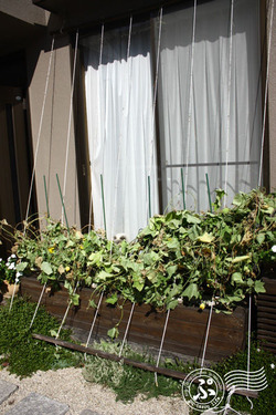 緑のカーテン2011_9_02