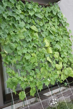 Green-curtain puroject 2013_0808_02