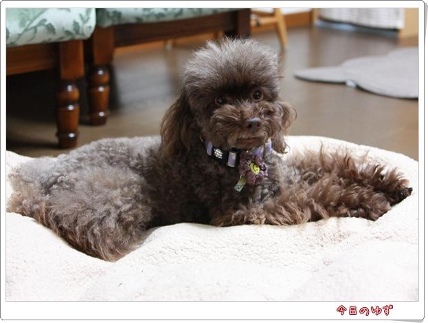トイプードル ゆず 犬
