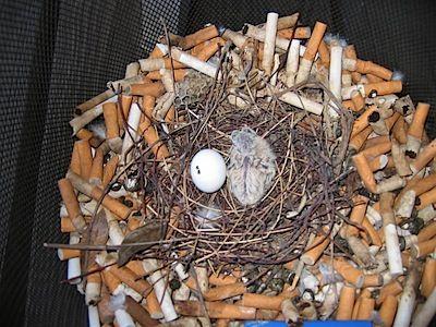 都会のスズメ、タバコの吸い殻を有効活用