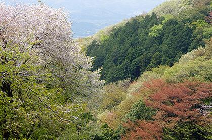 20150424tak_sakura