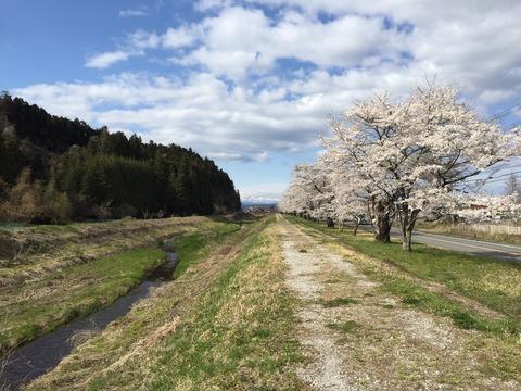 image岩出山城址の桜-20210410-6
