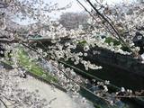 桜の接写2