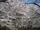 古墳で咲き誇る桜