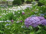 鶴舞公園アジサイと花しょうぶ