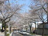 石川大橋までの桜