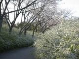 緑化センター桜と雪柳3