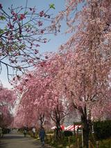 東谷山しだれ桜の様子