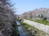 鼎小橋からの桜