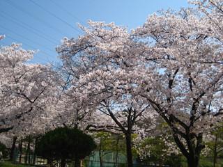 弥冨公園桜3