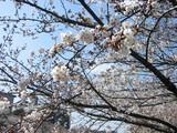 桜の接写1