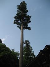 伊勢神宮鉾杉