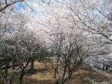 古墳を囲む桜2