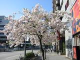 桜山八重桜白木屋前1