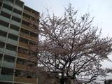水道みち緑道の桜1