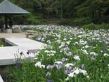 鶴舞公園花しょうぶ園1