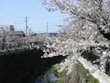 石川大橋からの桜