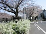 山崎川遊歩道白い花と桜