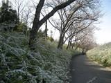緑化センター桜と雪柳2