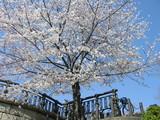 山崎川下からの桜2