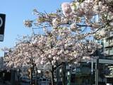 桜山八重桜市大病院の前から