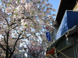 桜山八重桜メイミ前
