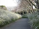 緑化センター桜と雪柳4