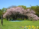 小金井公園の八重桜
