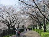 萩山橋付近遊歩道の桜