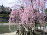 山崎川親水広場しだれ桜3
