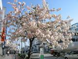 桜山八重桜白木屋前2
