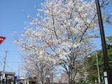 向田橋付近の桜