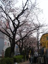 水道みち緑道の桜3