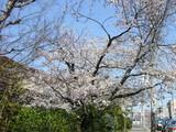 名古屋女子大前桜