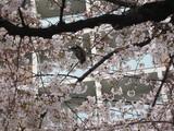 水道みちの桜と鳥