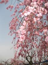 東谷山しだれ桜接写